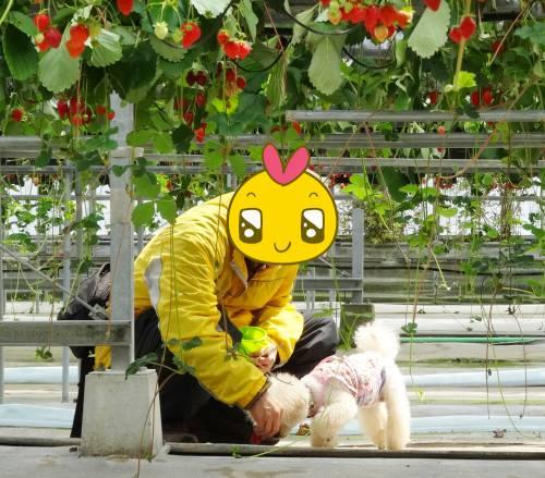 おいしいイチゴ、諭吉