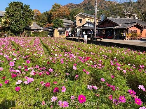 京都大原のコスモス畑