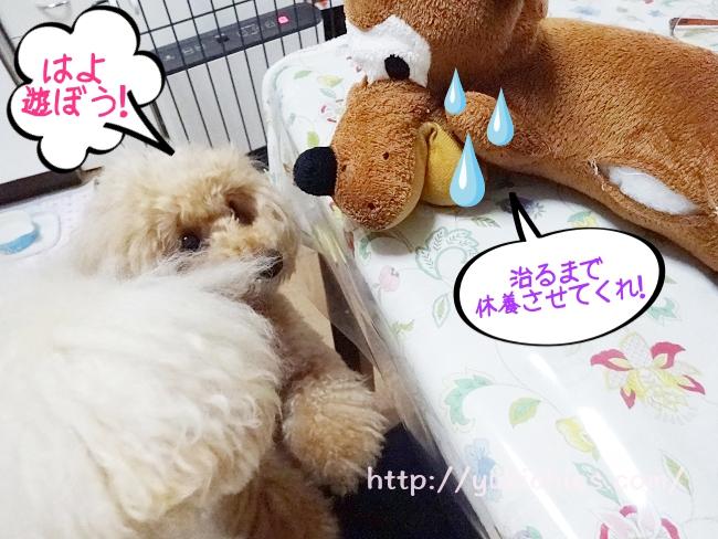 マロンちゃんを、見守る諭吉&杏「早くあそぼう!」「治るまで、休養させてくれ!」