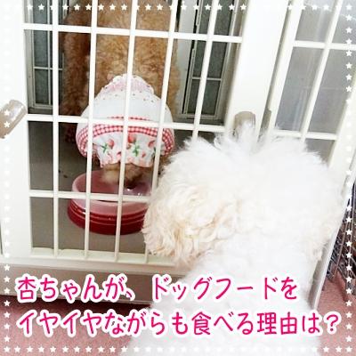杏ちゃんが、ドッグフードをイヤイヤながらも食べる理由は?