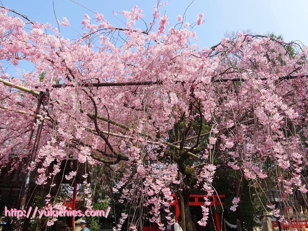 京都 水火天満宮(堀川通り御霊前通上がる)紅枝垂れ桜