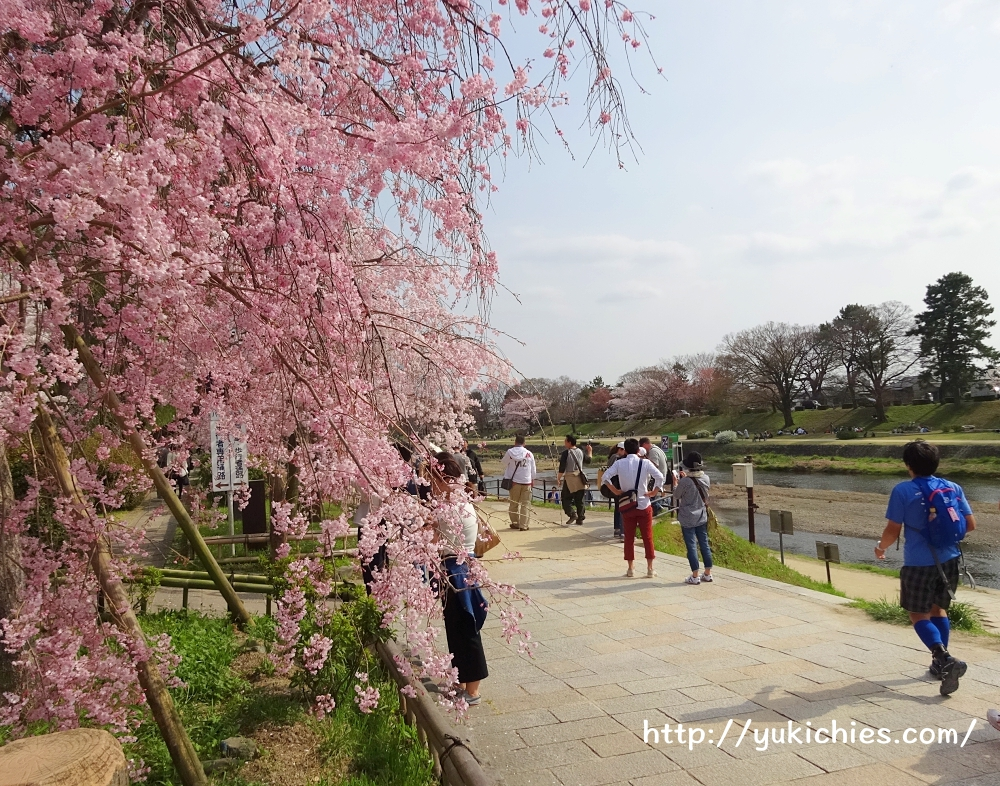京都北山 半木の道(なからぎのみち)紅枝垂れ桜1