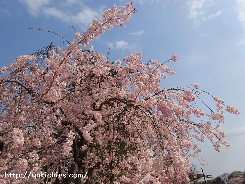 京都北山 半木の道(なからぎのみち)紅枝垂れ桜2