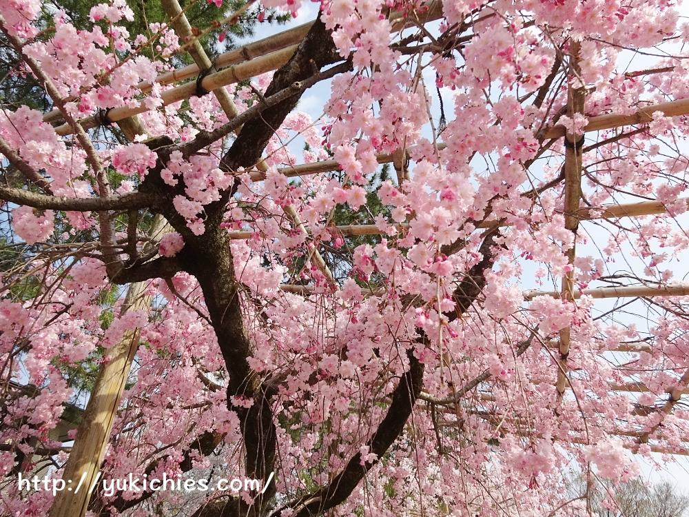 京都北山 半木の道(なからぎのみち)紅枝垂れ桜3