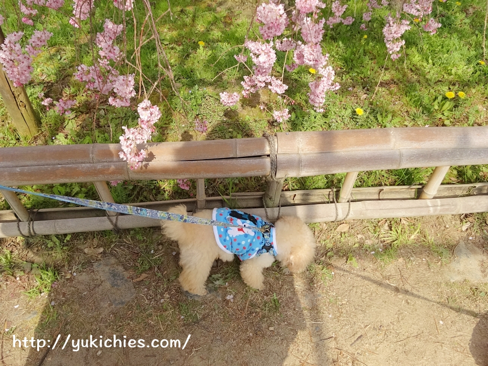 京都北山 半木の道(なからぎのみち)紅枝垂れ桜と諭吉
