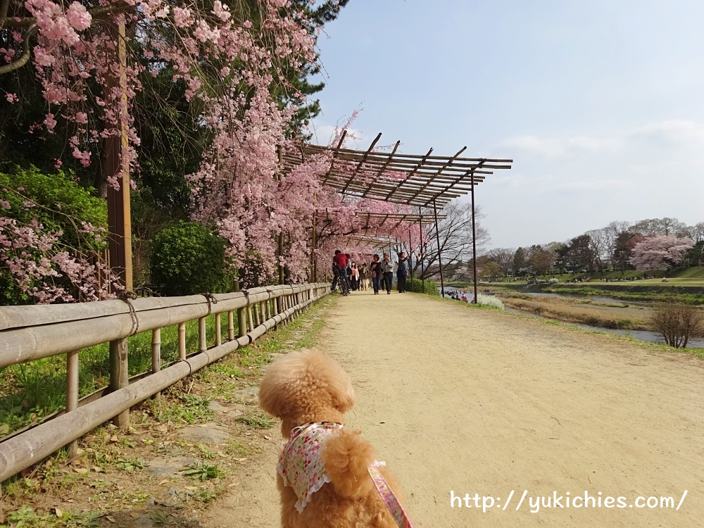 京都北山 半木の道(なからぎのみち)紅枝垂れ桜と杏