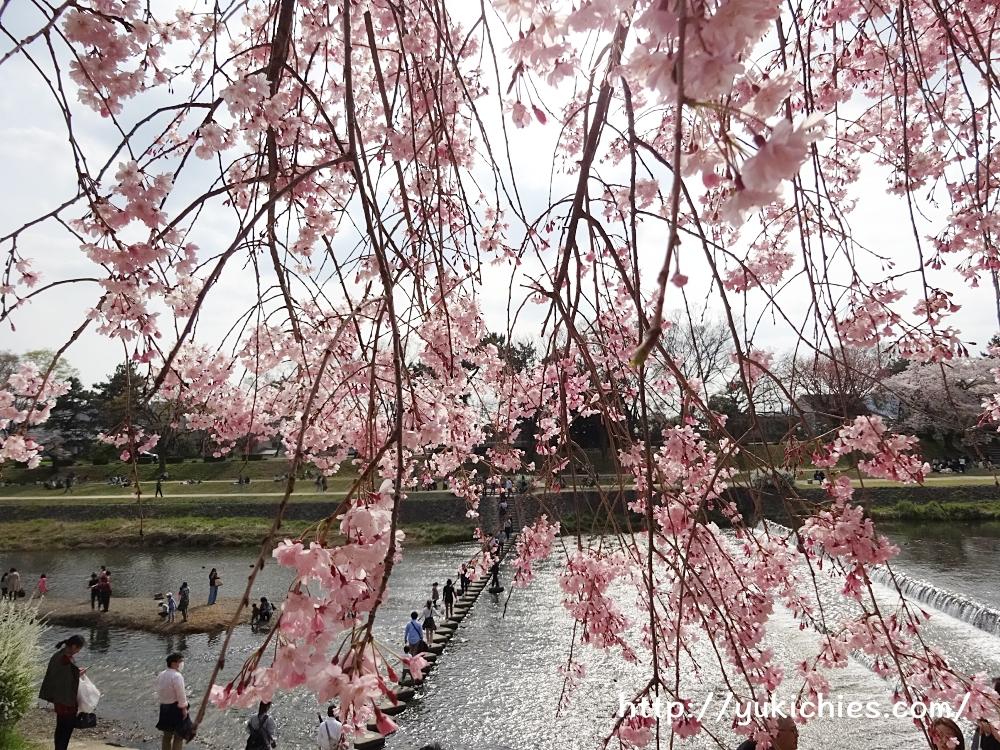 京都北山 半木の道(なからぎのみち)紅枝垂れ桜 鴨川