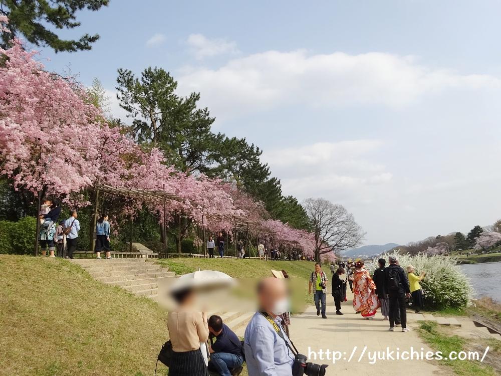 京都北山 半木の道(なからぎのみち)紅枝垂れ桜4