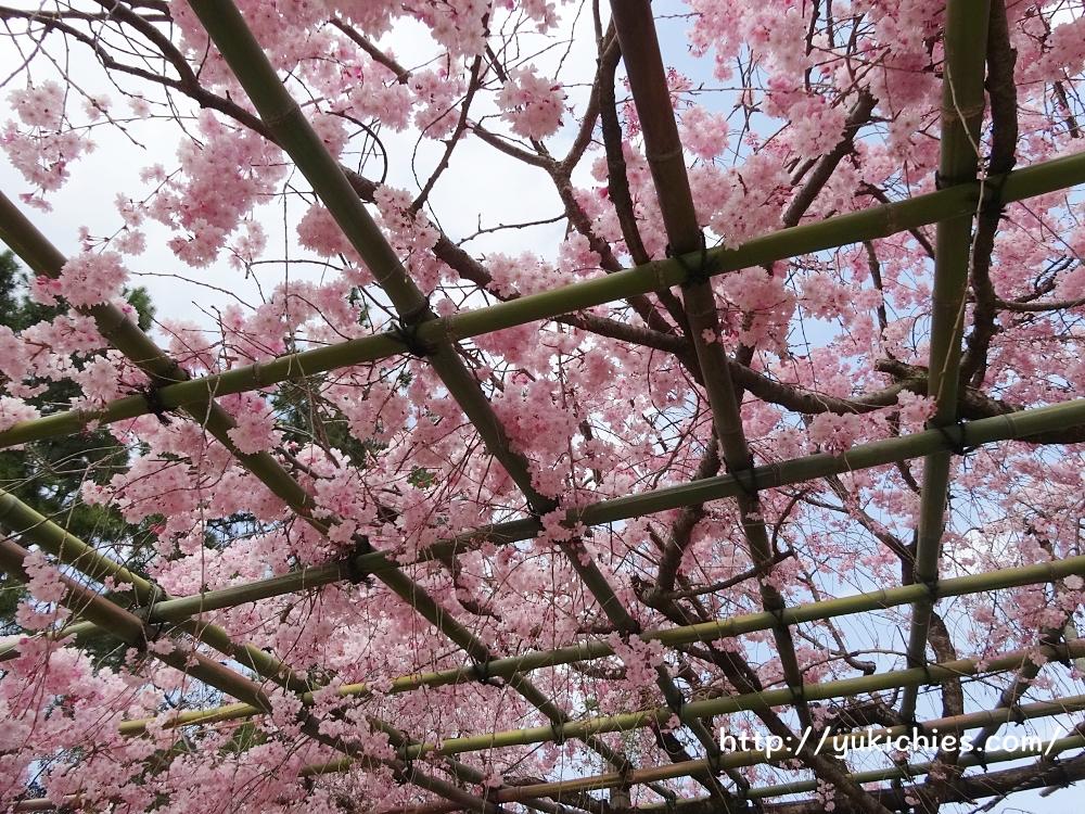 京都北山 半木の道(なからぎのみち)紅枝垂れ桜5