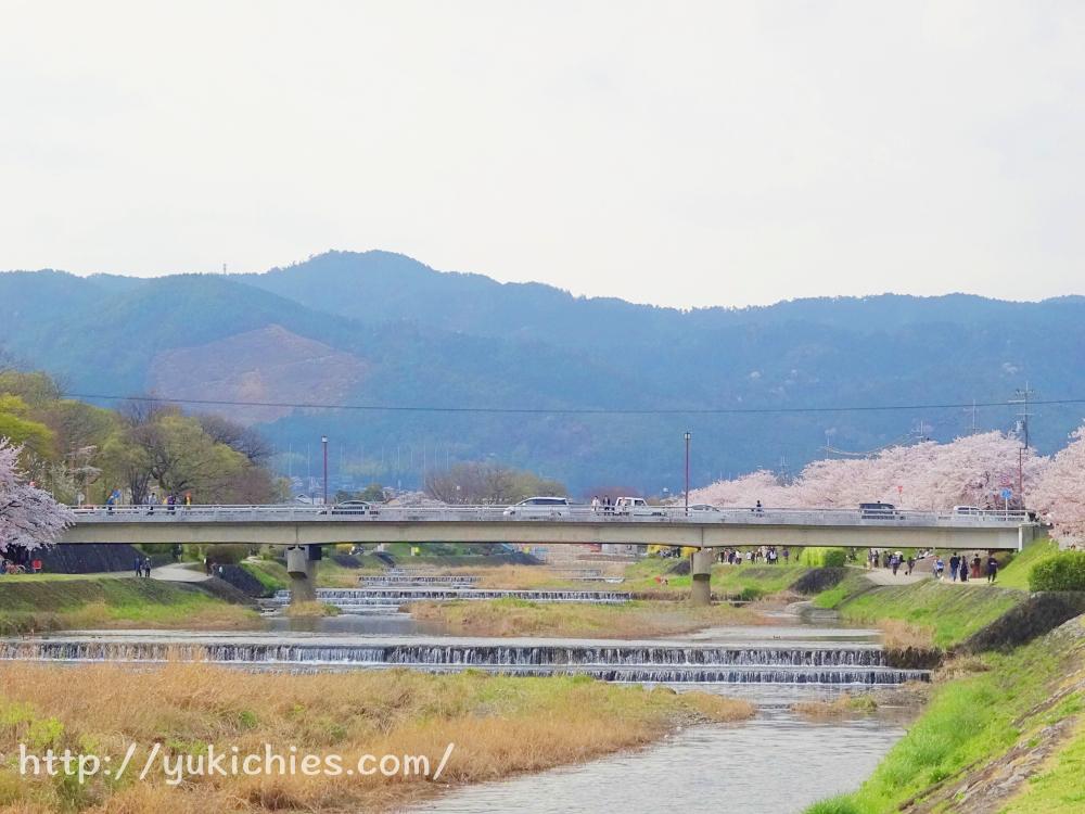 京都の桜 船山と鴨川