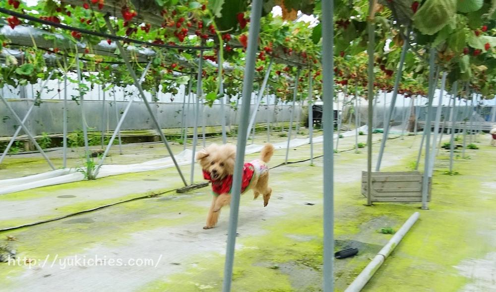 岡山県瀬戸内市牛窓 田淵いちご農園 わんこも一緒に行ける、いちご狩り 杏