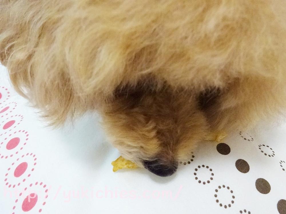 犬用おやつ「おっとっとグランデリ」を食べるトイプードルの杏ちゃん