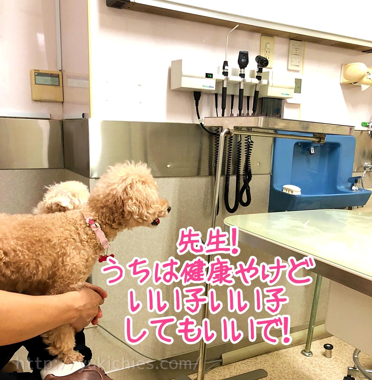 トイプードル杏『先生!うちは健康やけどいい子いい子してもいいで!』