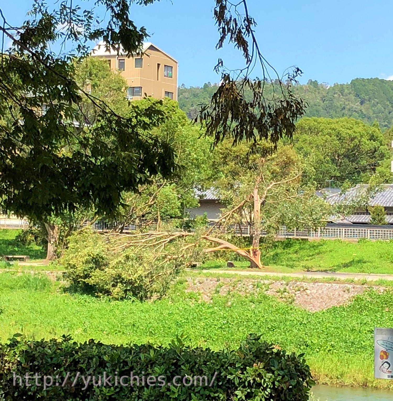 2018年9月5日台風21号京都鴨川 対岸の木が折れる