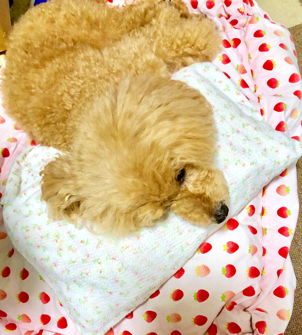 トイプー杏 アイスノンで快適お昼寝