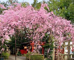 京都 堀川紫明 水火天満宮の桜 2020年 桜満開