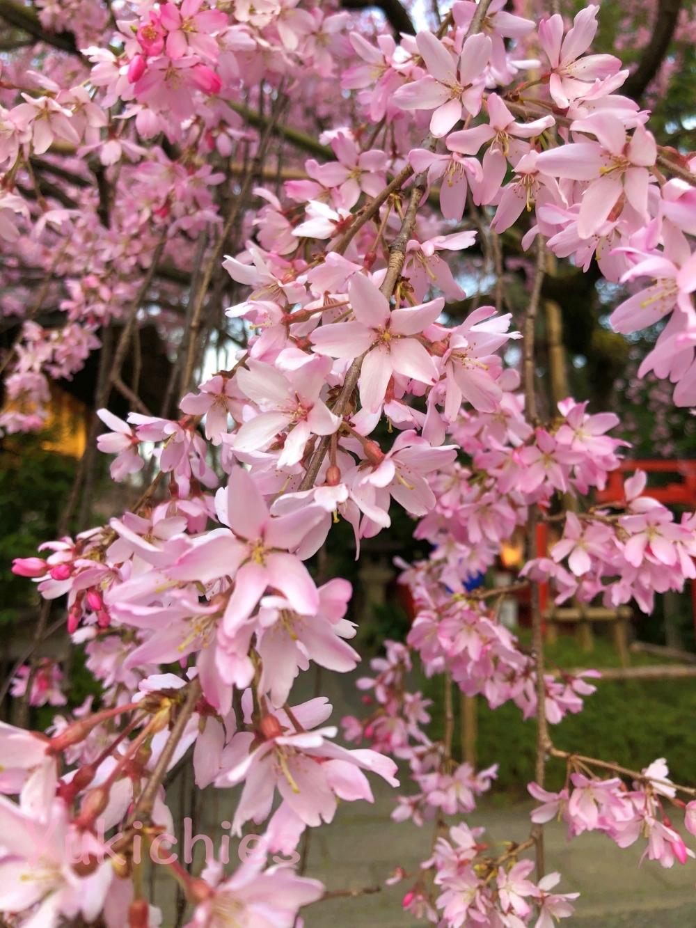 京都 堀川紫明 水火天満宮の桜 2020年 枝垂れ桜満開