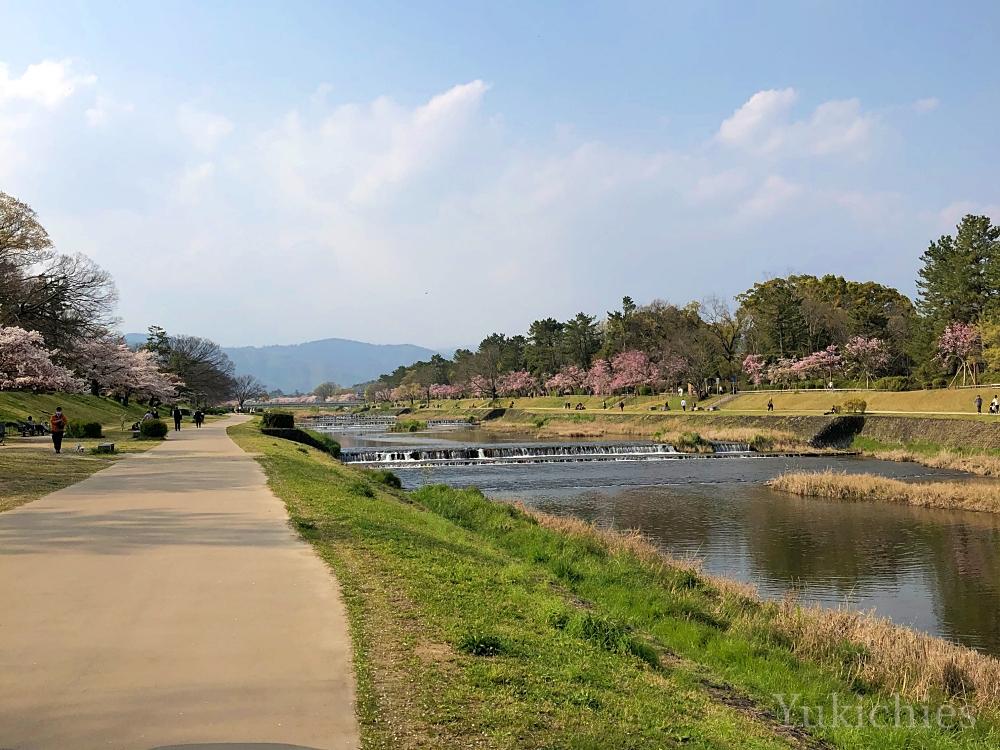 京都 北大路橋 北山 半木の道(なからぎのみち)京都の桜 2020年