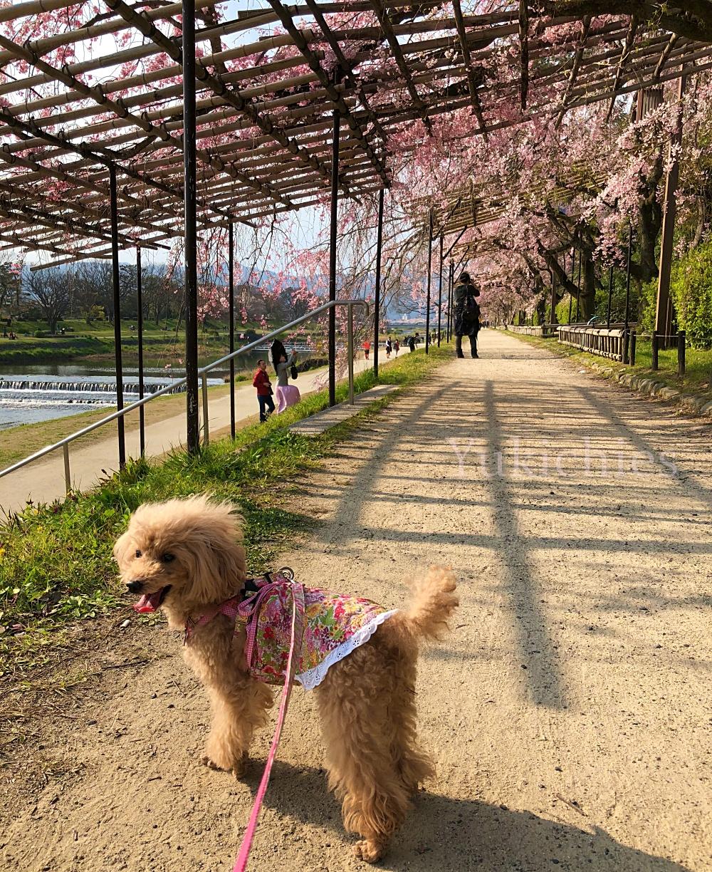 京都 北山 半木の道(なからぎのみち) 杏ちゃん