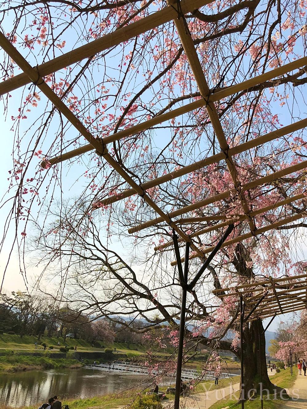 京都 北山 半木の道(なからぎのみち) 紅枝垂れ桜