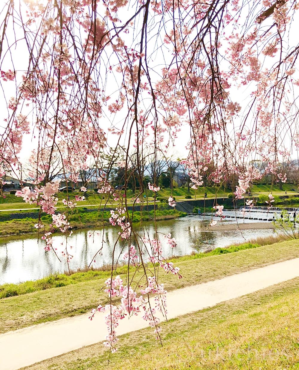 京都 北山 半木の道(なからぎのみち) 紅枝垂れ桜 鴨川