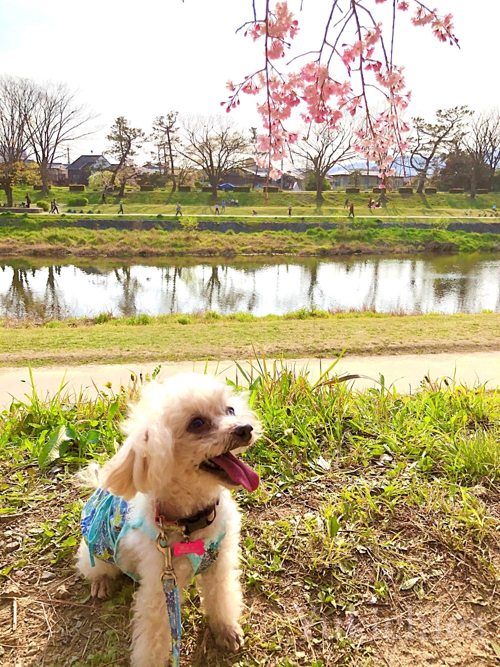 京都 北山 半木の道(なからぎのみち) 紅枝垂れ桜 トイプー諭吉