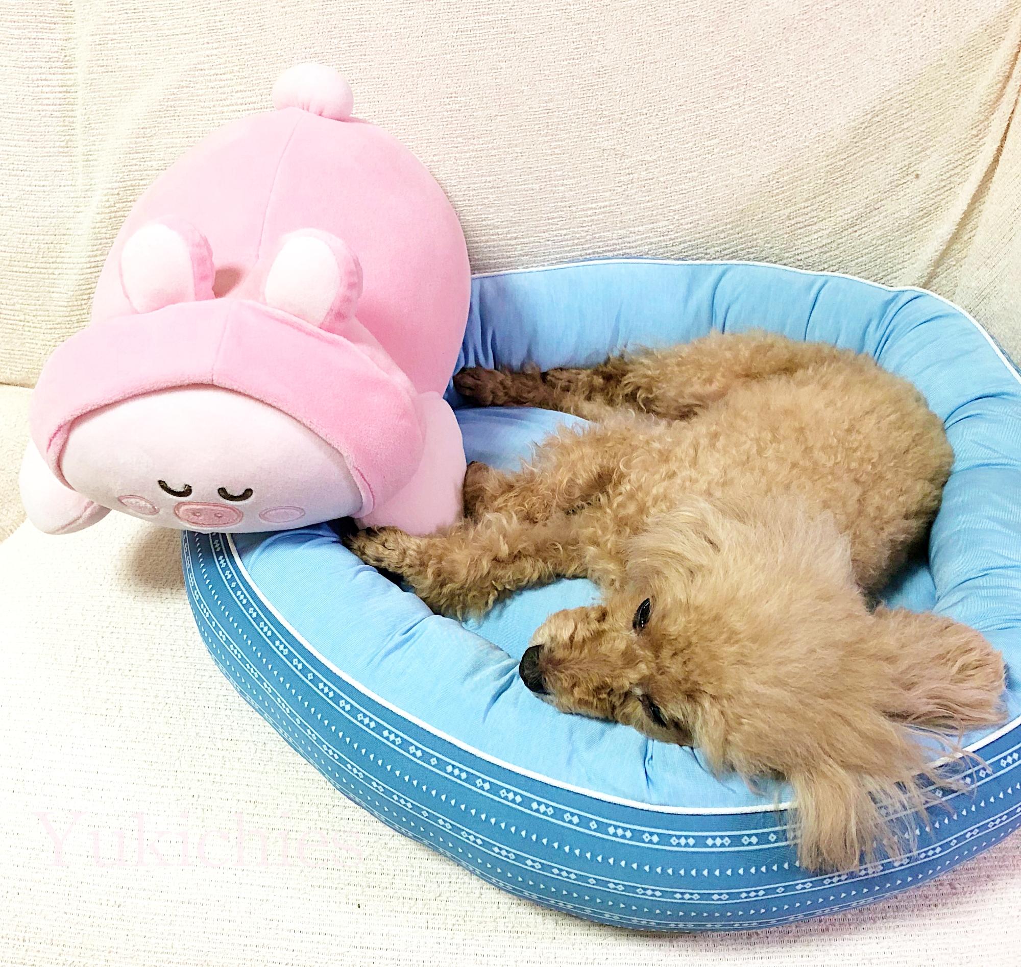 犬・猫用ペットベッド トイプー杏ちゃん