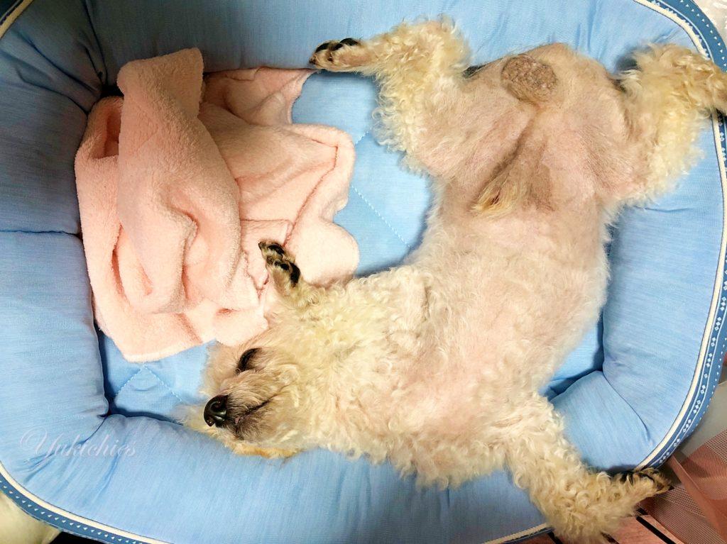 トイプードル諭吉の寝相 爆睡 ニトリのクールベッド