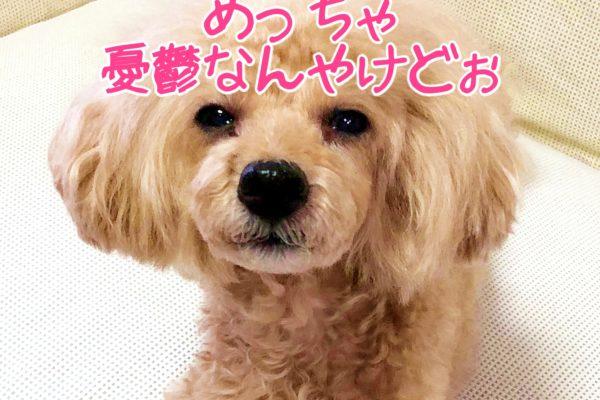 トイプー杏ちゃん めっちゃ憂鬱なんやけどぉ