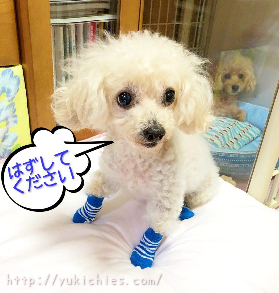 100円ショップの犬の靴下を履いたトイプー諭吉
