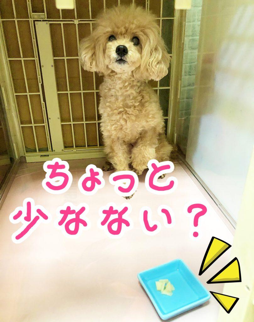 トイプー杏ちゃんの待て『ちょっと少なない?』