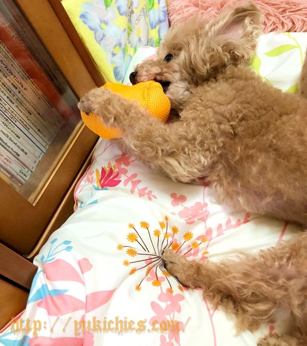ハロウィンのおもちゃで遊ぶトイプードル杏