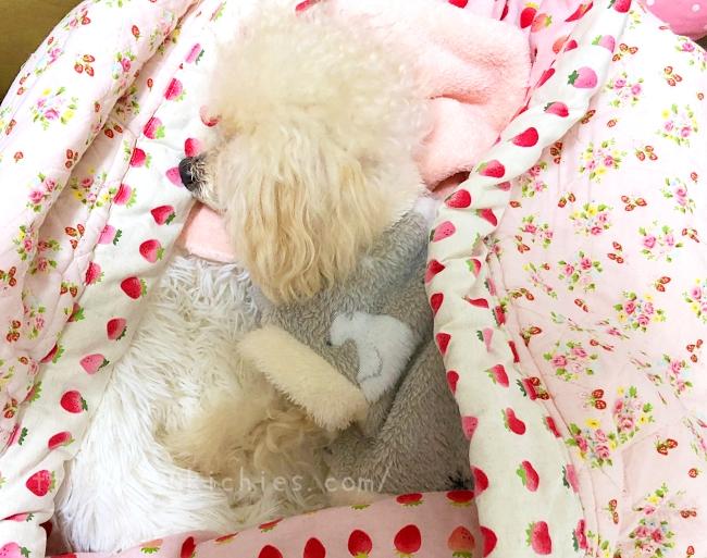 ダイソーで買った犬服を着て寝ている諭吉