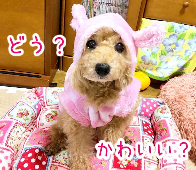 ダイソーDOGWARE ペット服(耳付き、ゆるアニマル、Lサイズ)を着た杏ちゃんのフードを被せた姿