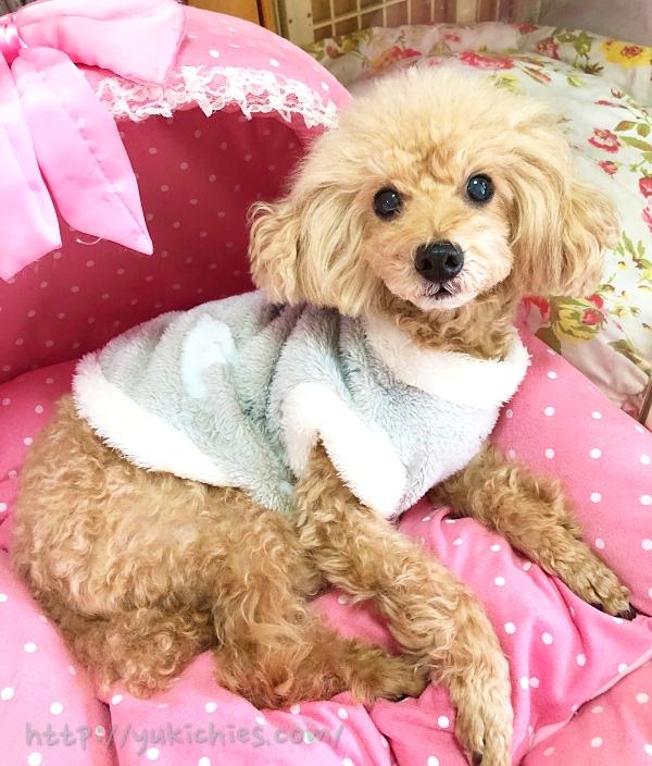 ダイソーで買った犬服をトイプー杏に着せた