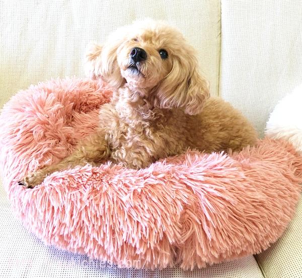 ふわふわもこもこ犬ベッド50cmピンクとトイプードル杏ちゃん