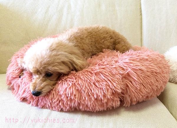 ふわふわもこもこ犬ベッドのピンクで寝る杏ちゃん
