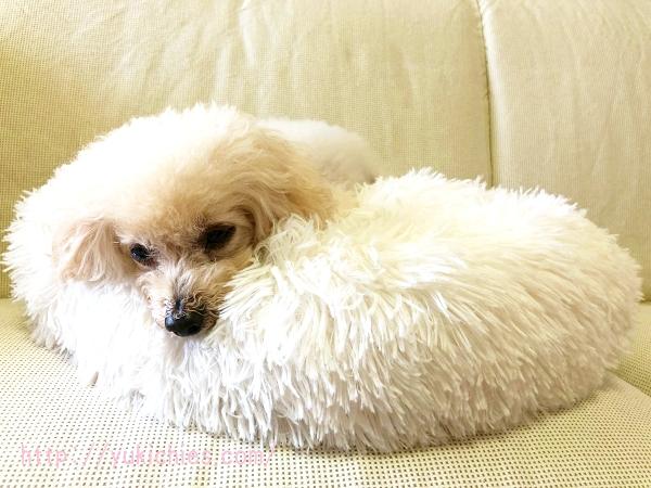 ふわふわもこもこ犬ベッドで寝るトイプードル諭吉