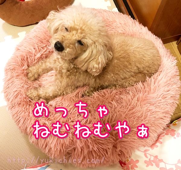 ふわふわ犬ベッドで寝る杏ちゃん『めっちゃねむねむやぁ』