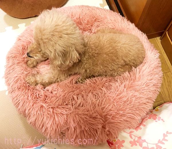 ふわふわ犬ベッドとトイプードル杏ちゃん