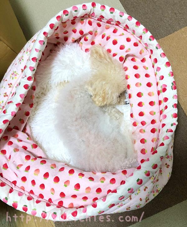手作り筒型犬ベッドにふわふわ犬ベッドを入れて寝るトイプードル諭吉