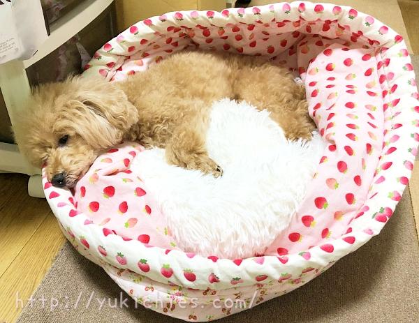 手作り筒型犬ベッドにふわふわ犬ベッドを入れて寝るトイプードル杏ちゃん