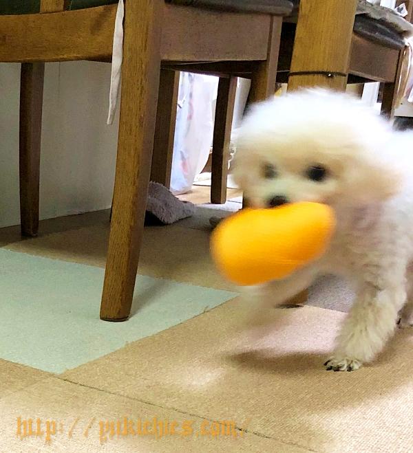 ダイソーで買ったハロウィンのボールをくわえる諭吉