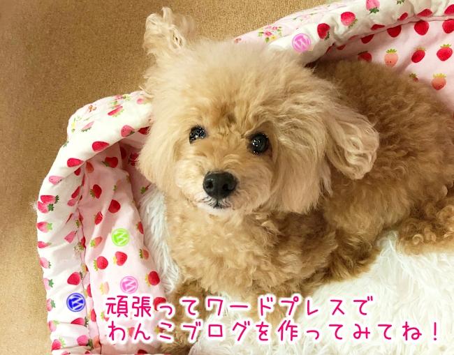 トイプードル杏ちゃん『頑張ってワードプレスで犬ブログを作ってみてね!』